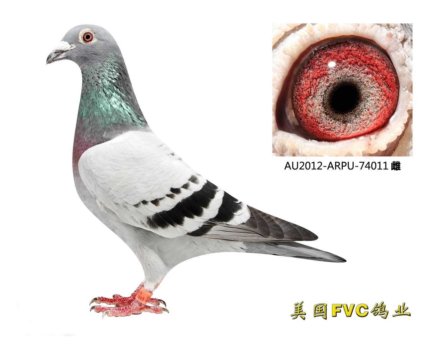 劳伦斯雪鸟74011【已售出】