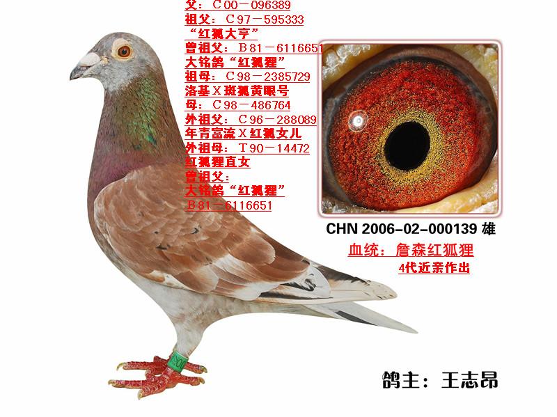 詹森红狐狸_詹森红狐狸(4代)近亲(已售天津)_山东鲁阳鸽业_ag188.com爱鸽 ...