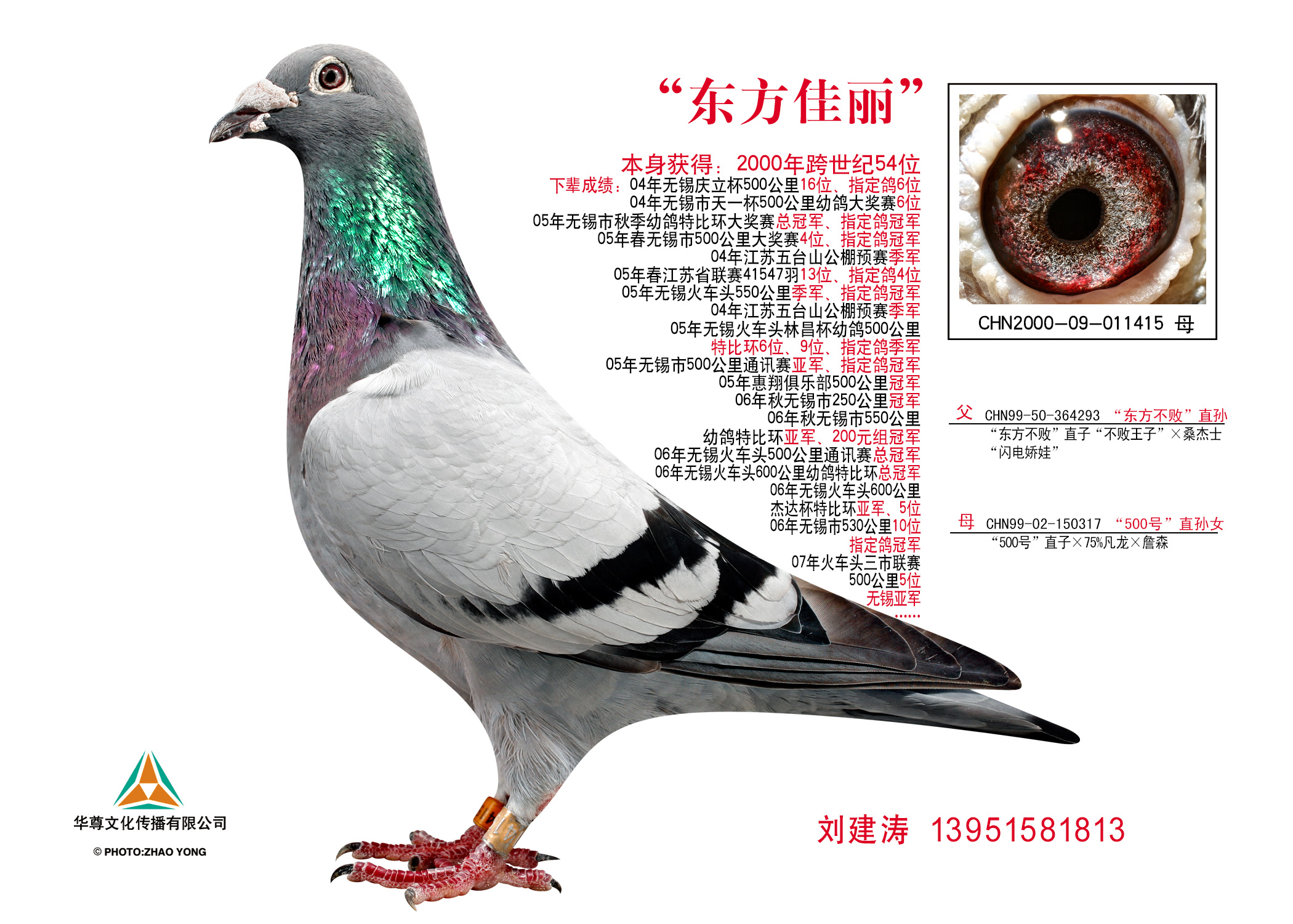 基础种鸽 东方佳丽