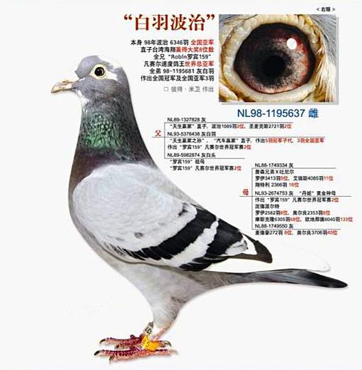 基础种鸽 白羽波治