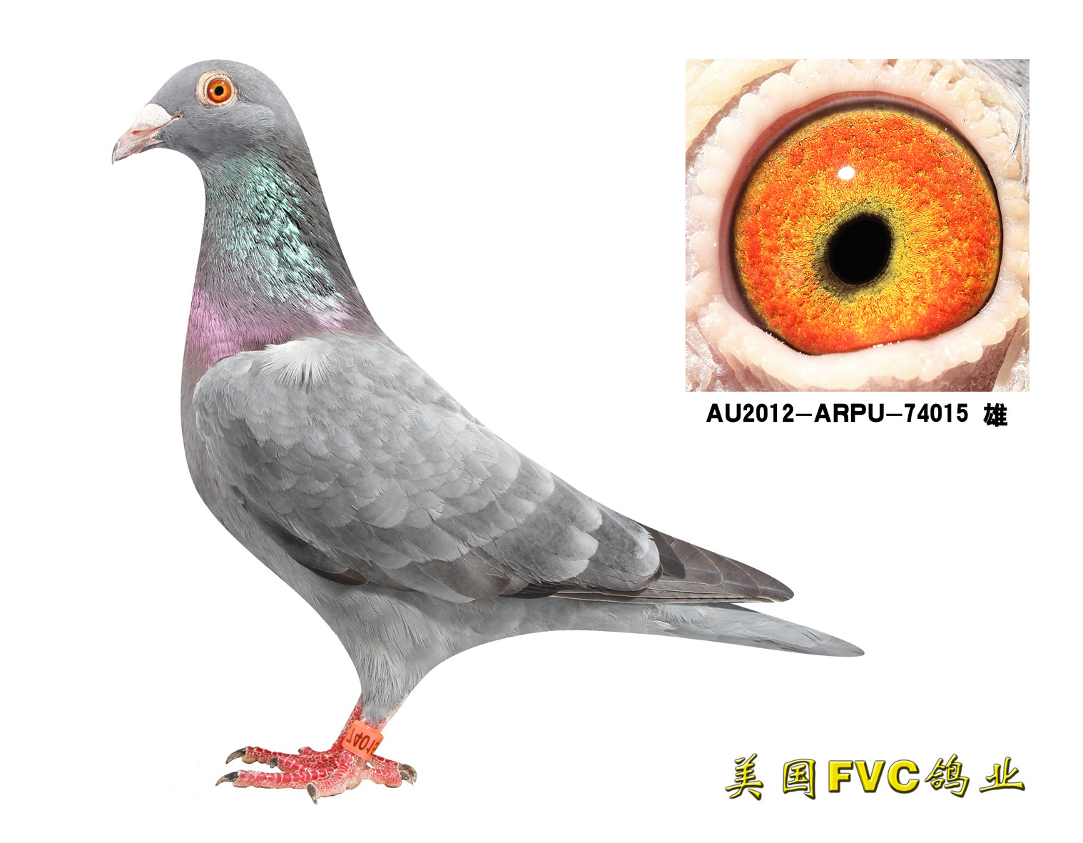 劳伦斯雪鸟74015【已售出】