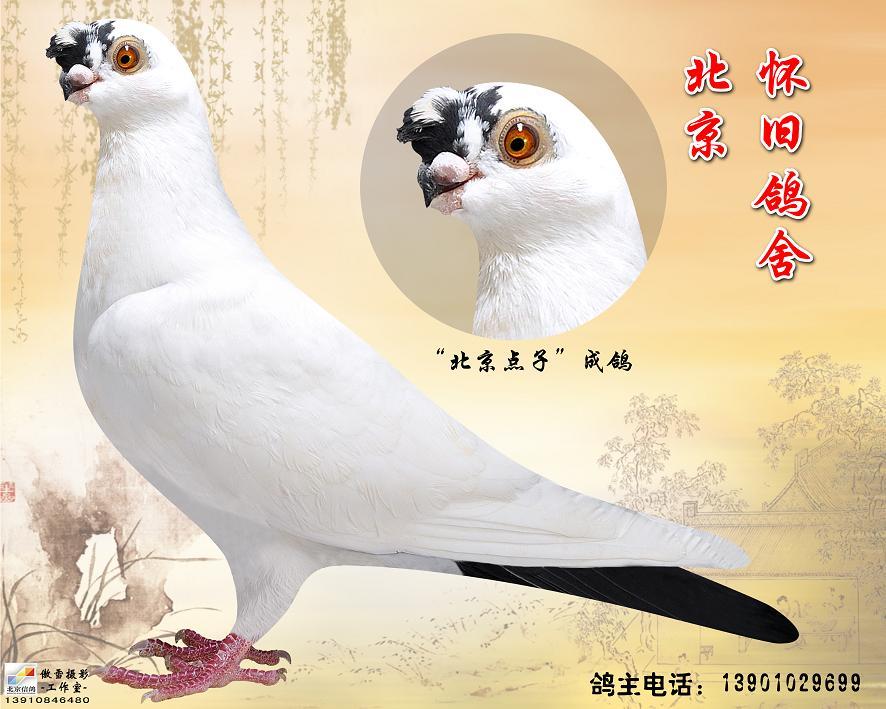 观赏鸽点子图片_北京点子 观赏鸽_北京怀旧鸽舍-中信网爱鸽商城