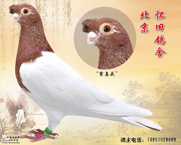 紫乌头 观赏鸽