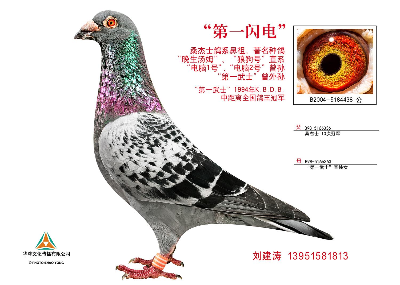 基础种鸽 第一闪电