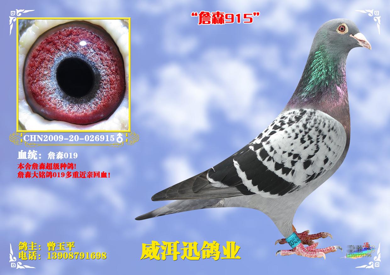 詹森915_云南普洱威洱迅鸽业_ ag188.com爱鸽商城