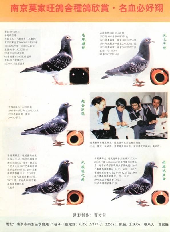 暗眼雄【黑太原基础种鸽】