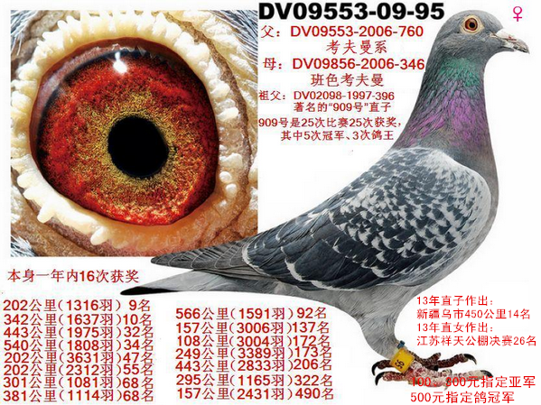 考夫曼系16次获奖鸽(已售北京鸽友)