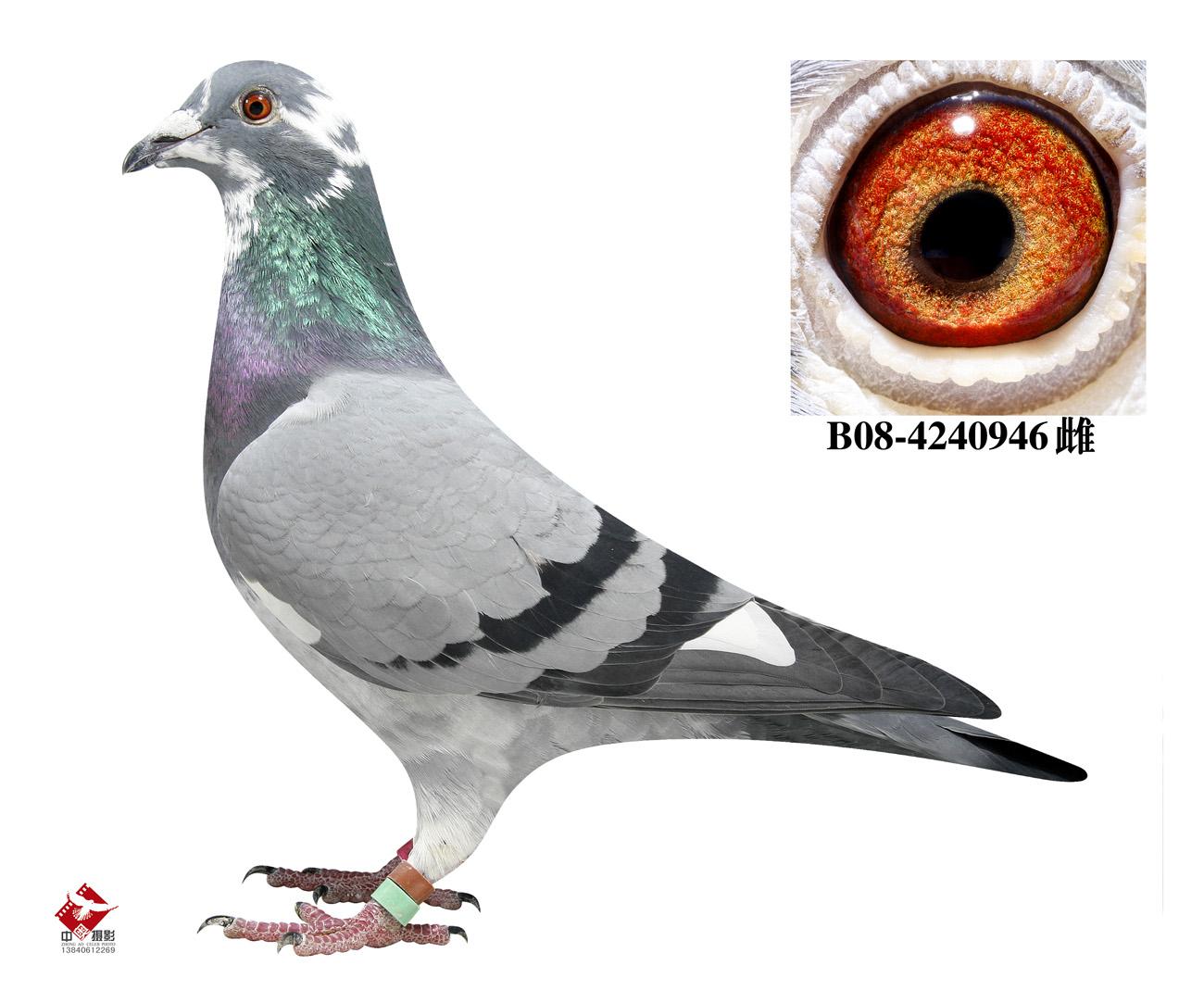 鸽子 教学图示