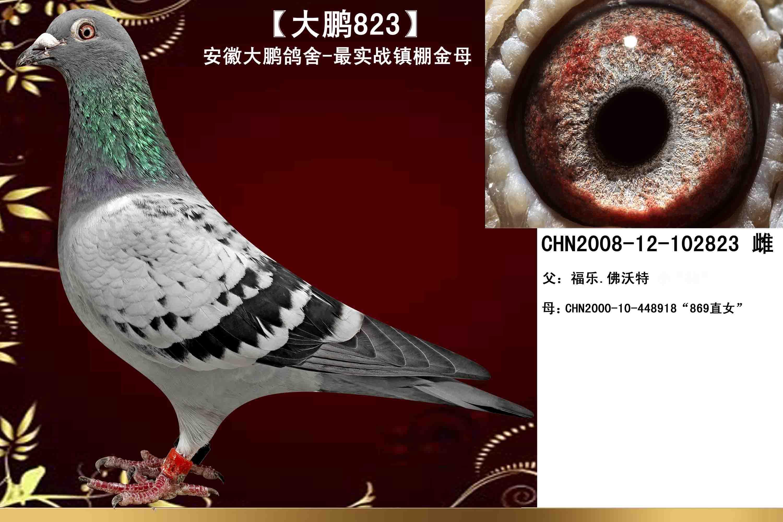【大鹏823】大鹏鸽舍