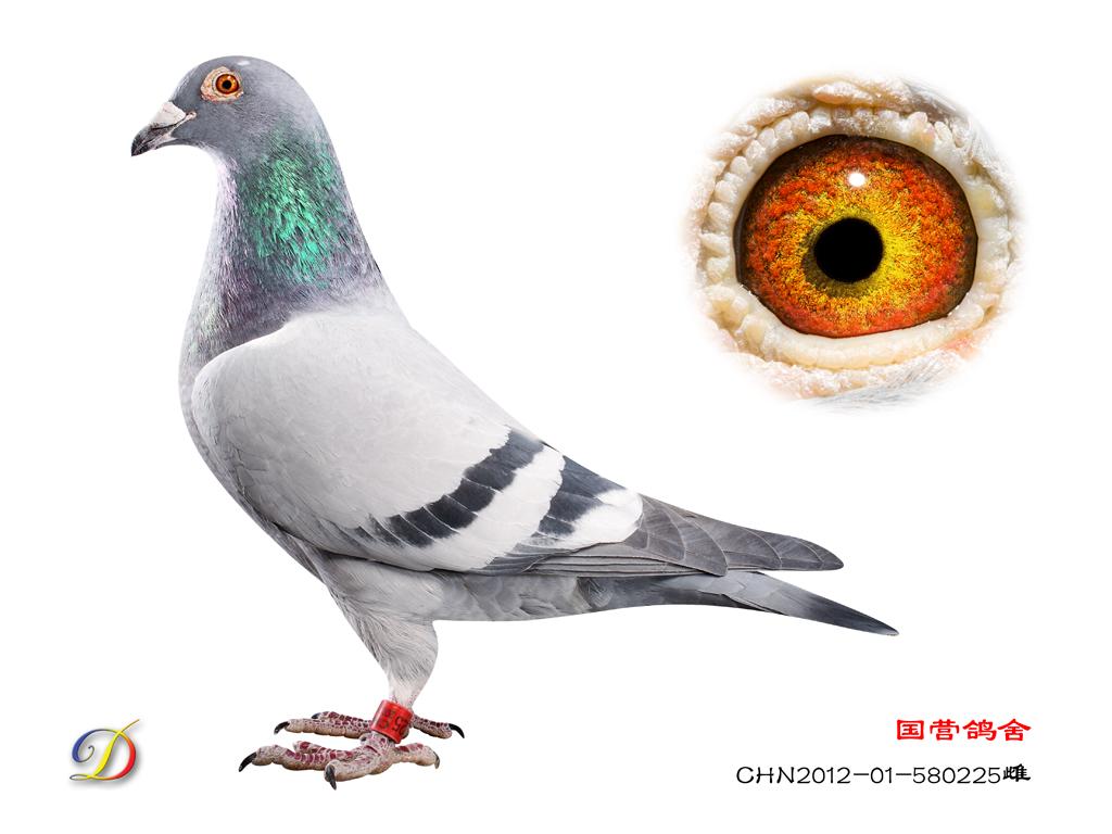 动物 鸽 鸽子 教学图示 鸟 鸟类 1024_768