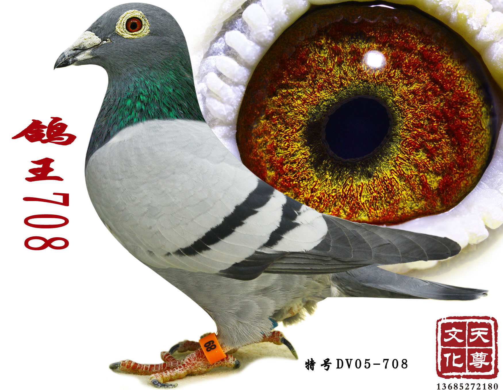 鸽王708
