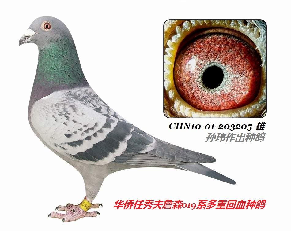 """""""极品詹森回血种鸽203205雌"""
