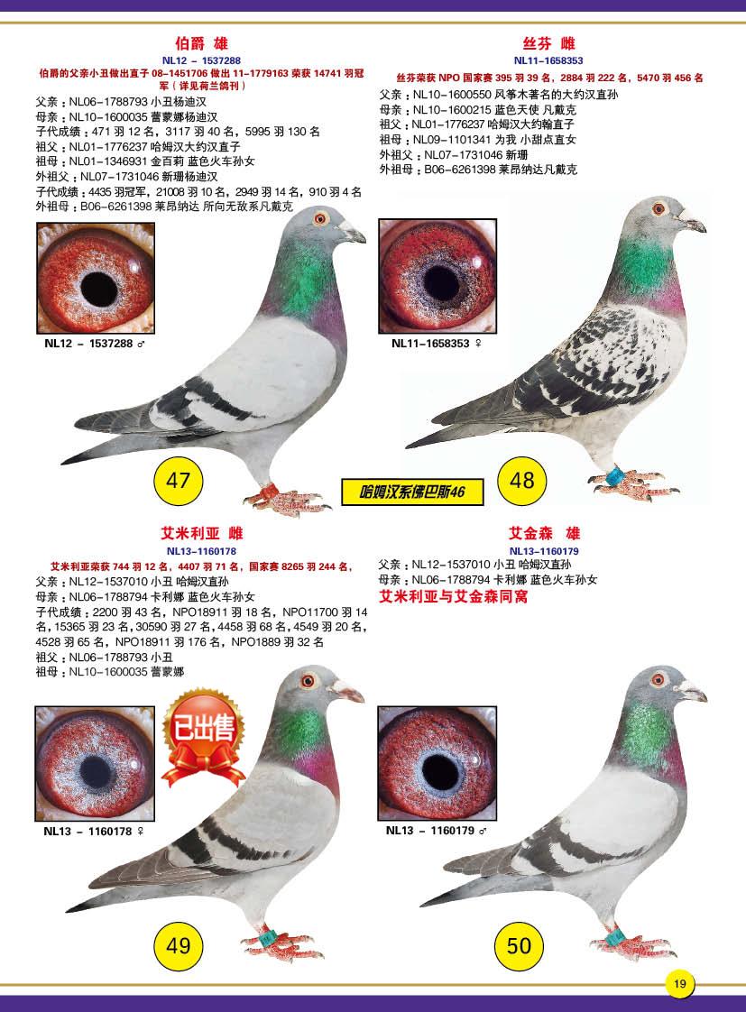 济南蓝岛23页_济南蓝岛赛鸽总场-中信网爱鸽商城