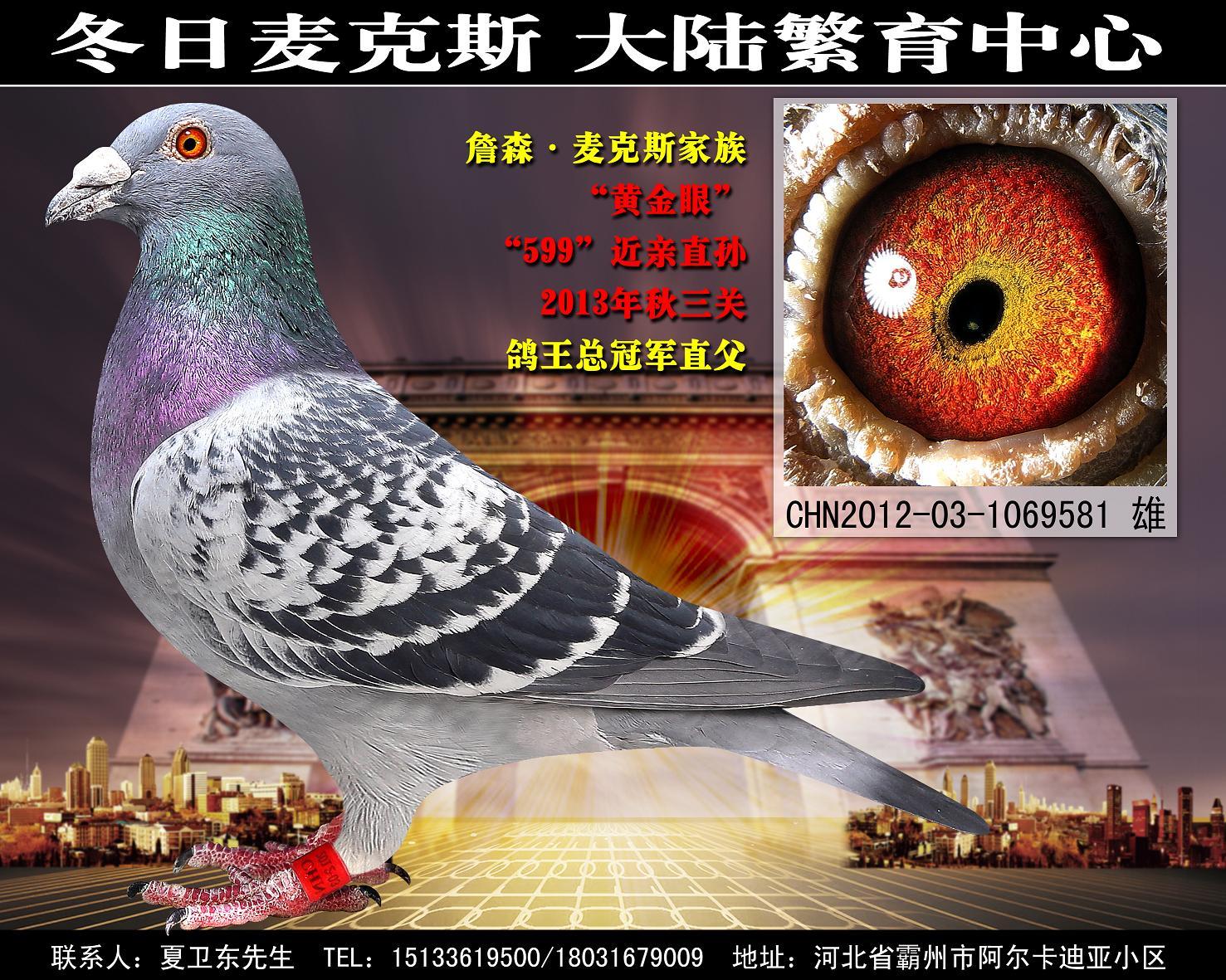 《黄金眼》超级种雄/鸽王总冠军直父