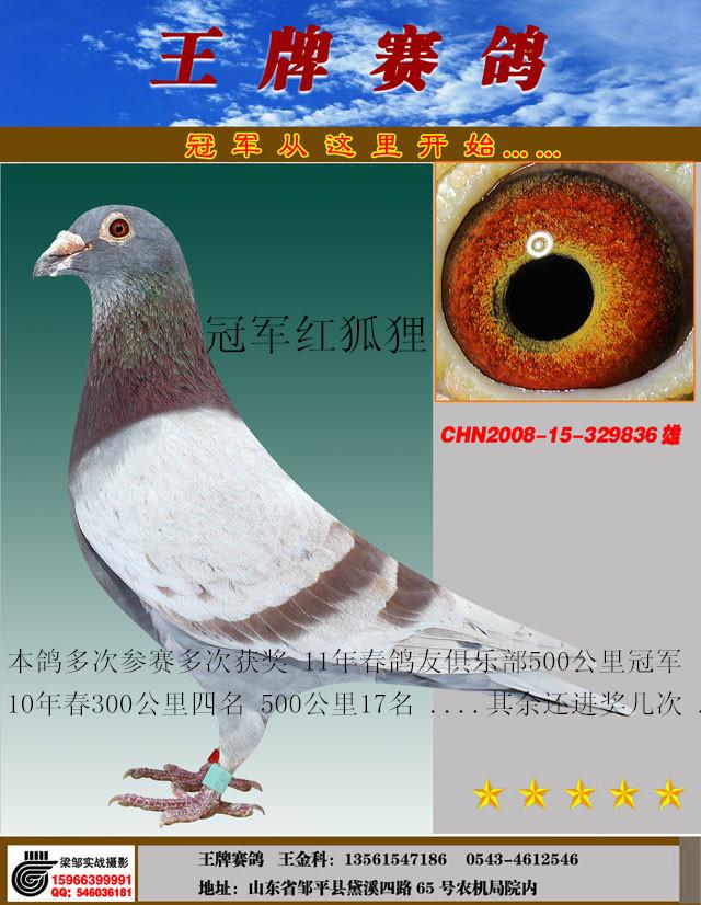冠军红狐-836_王牌赛鸽联盟_ ag188.com爱鸽商城_中国