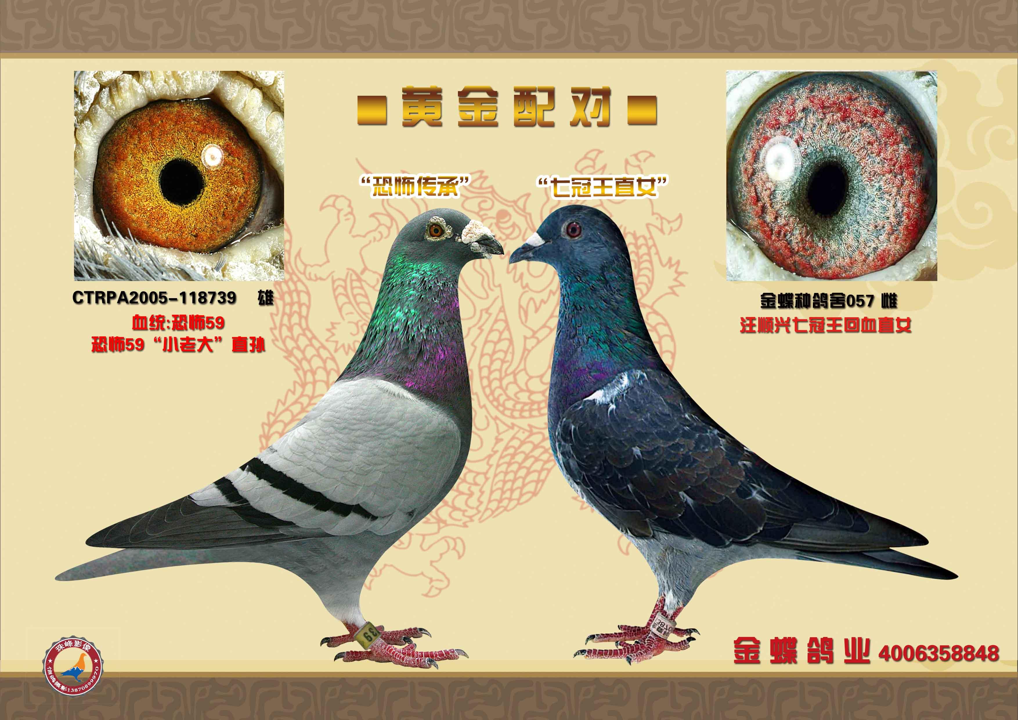 信鸽眼沙黄金配对图片-信鸽配对 信鸽眼志黄金配对图片