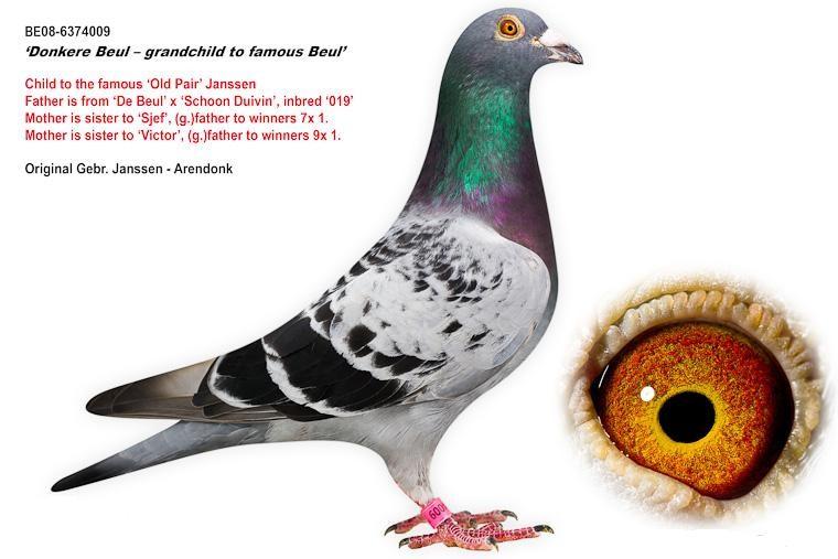 名家刘利鸽舍和种鸽实录视频 -北京赛鸽名家刘利鸽舍和种鸽实录