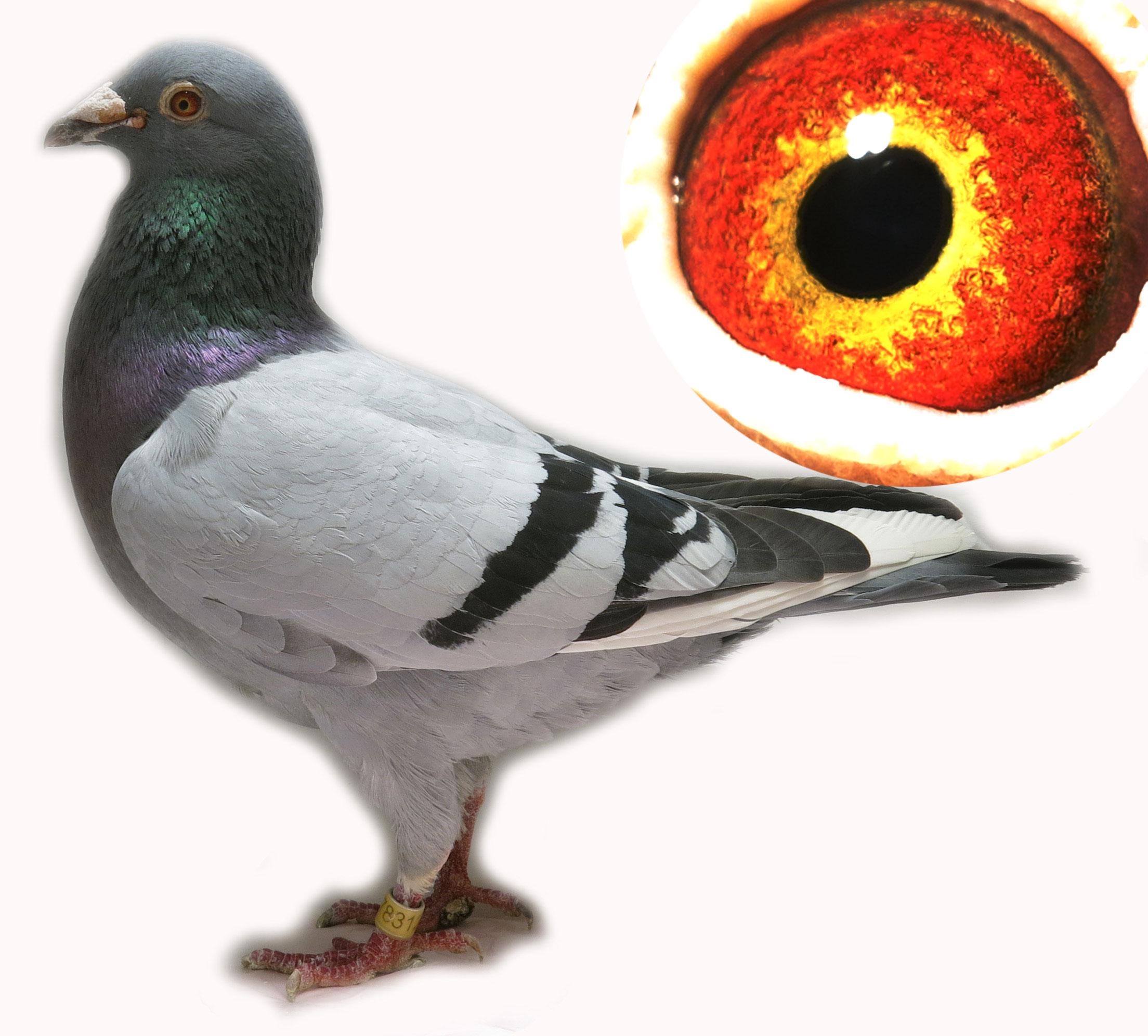 杨阿腾 北京爱宇赛鸽
