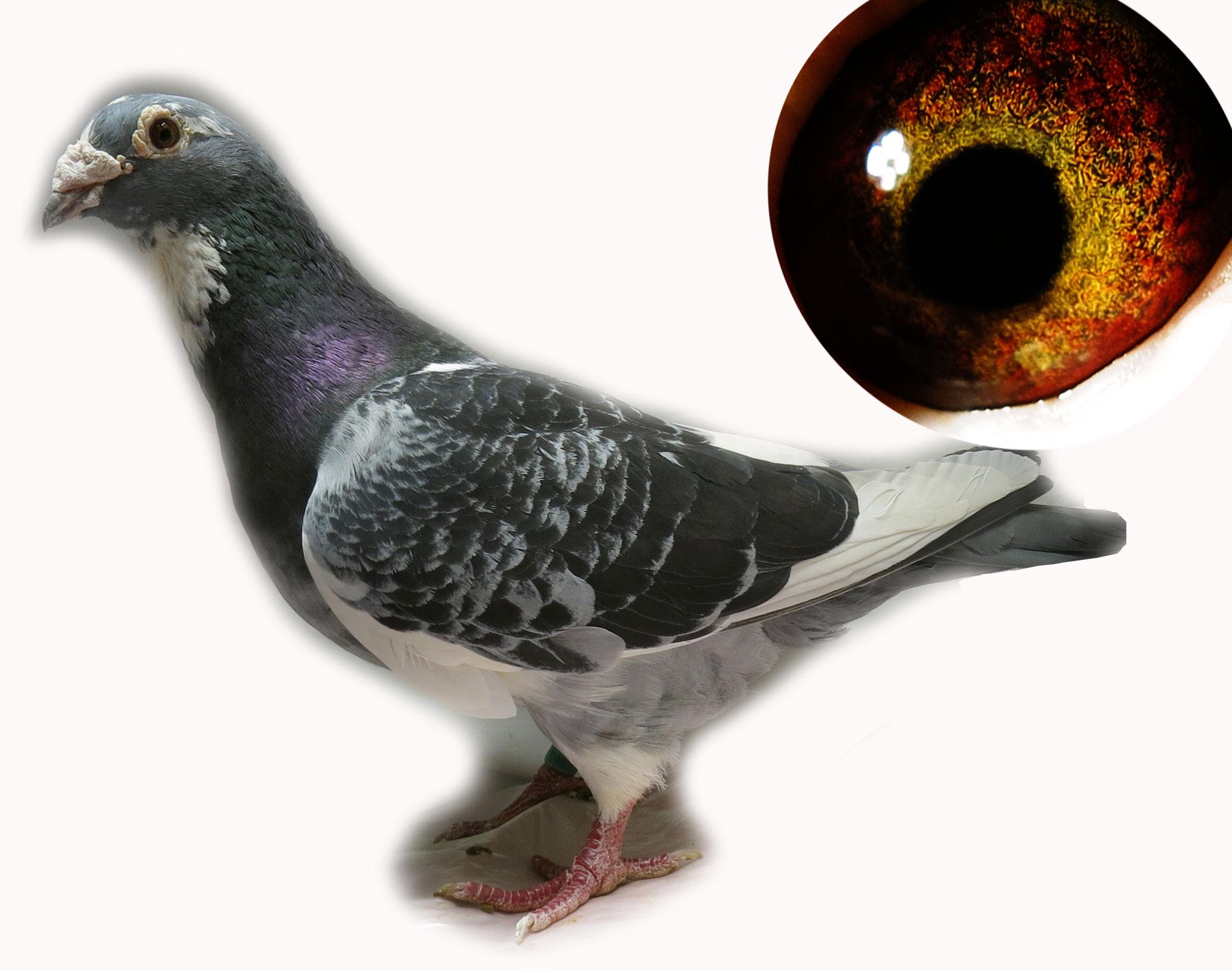 动物 鸽 鸽子 教学图示 鸟 鸟类 2268_1788