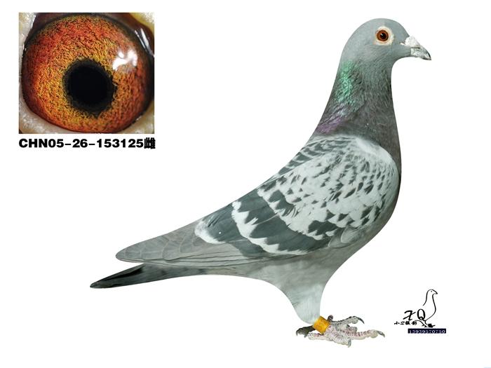 动物 鸽 鸽子 教学图示 鸟 鸟类 700_525