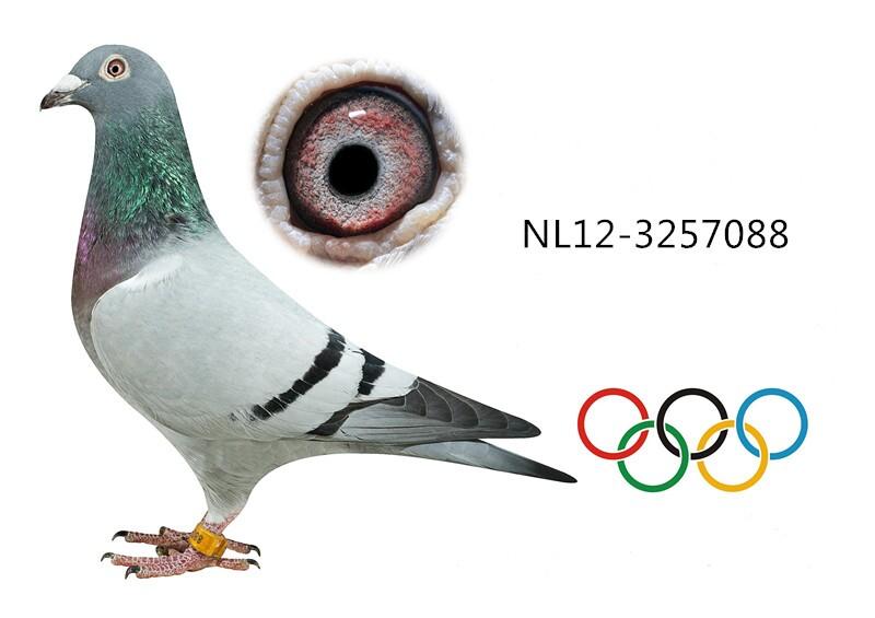 奥林匹克代表鸽