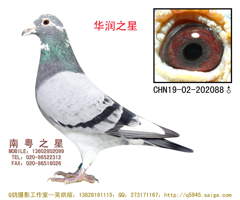 """公棚冠军父亲""""华润之星""""(非卖品)"""