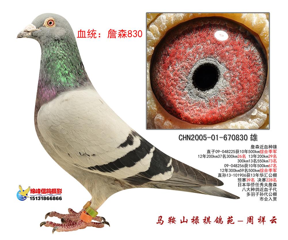 怎样在赛鸽中挑选种鸽