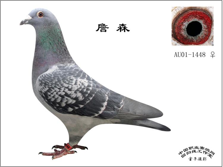 詹森1448_李忠惠鸽舍_ ag188.com爱鸽商城_中国信鸽图片