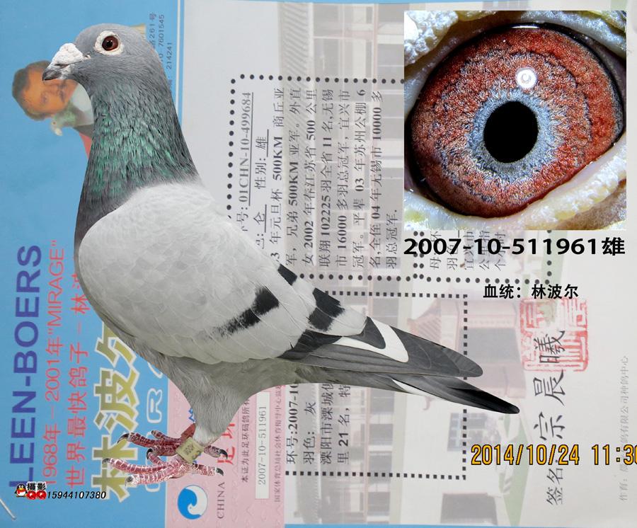 林波尔961_圣翔轩_ ag188.com爱鸽商城_中国信鸽信息网