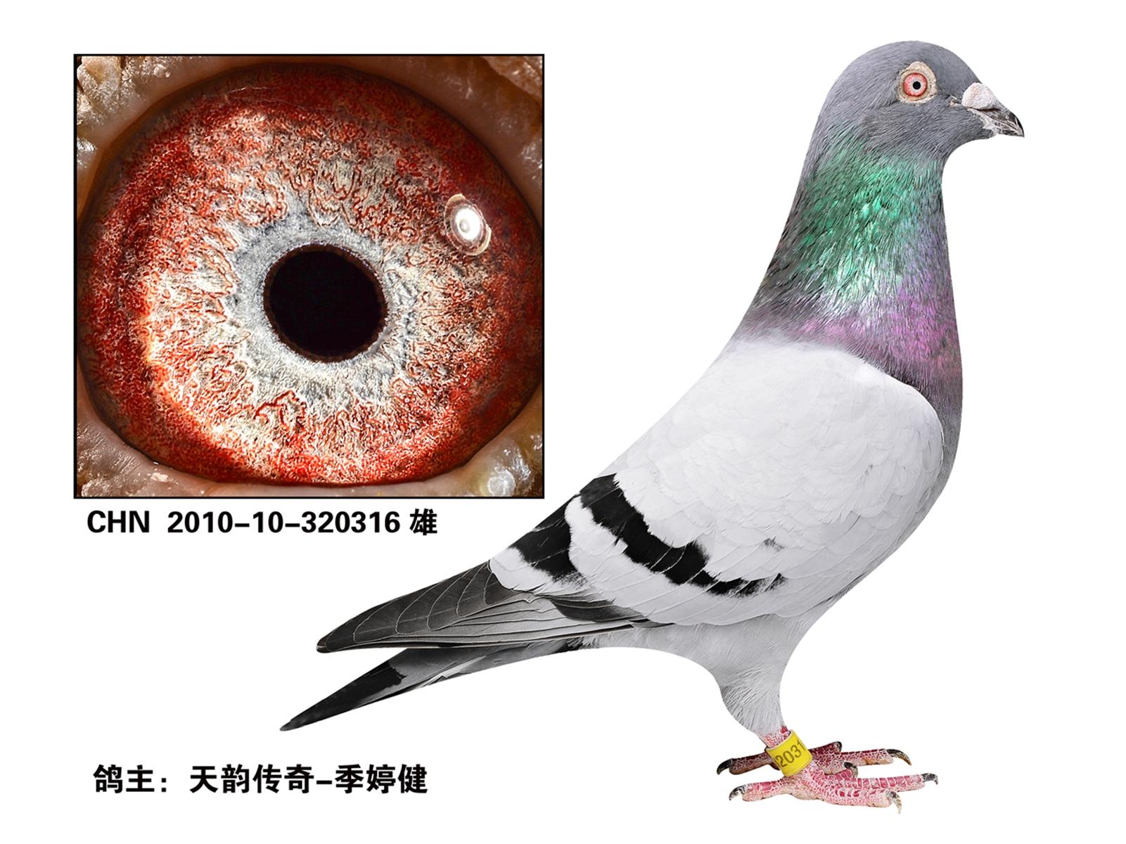 詹森老白眼信鸽图片展示图片