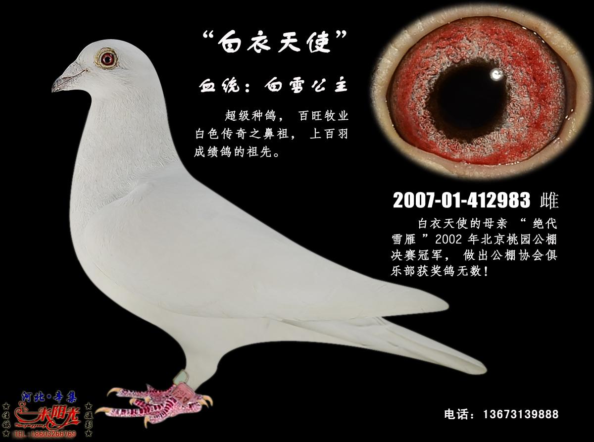 白衣天使(白鸽传奇功勋种雌)白鸽