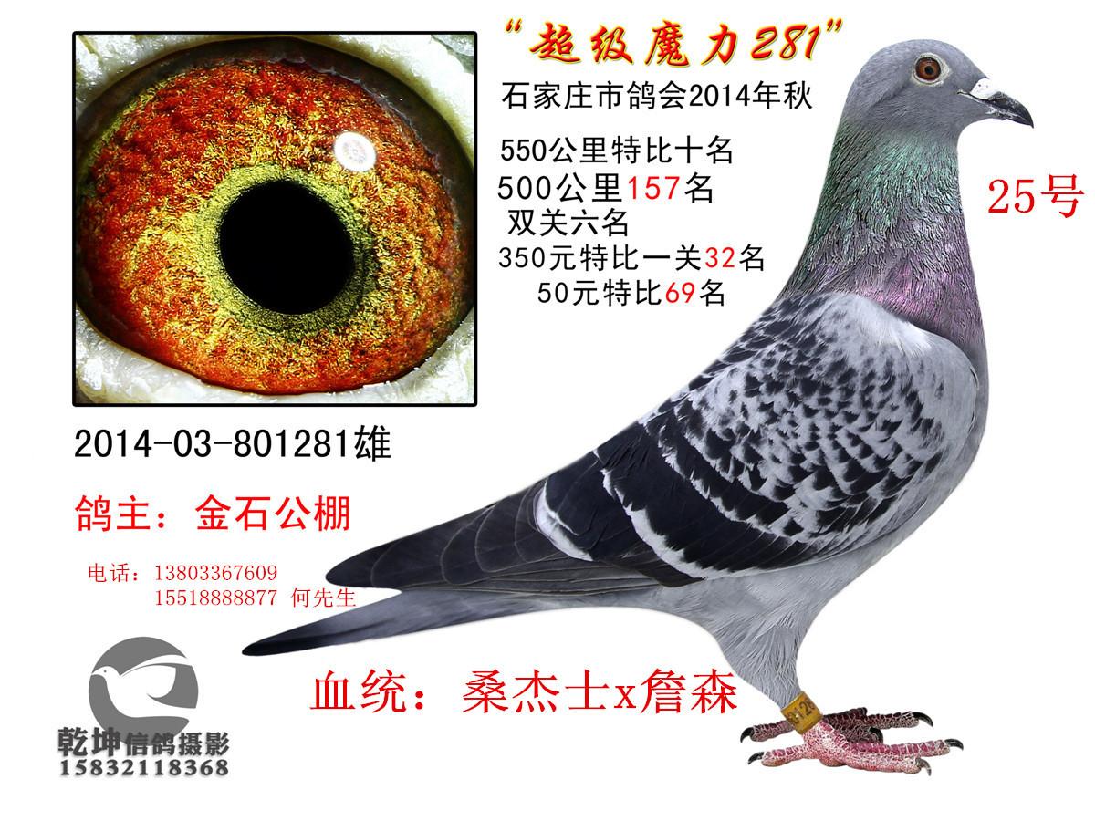 金石赛鸽育种中心14年成绩鸽