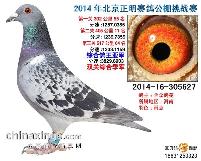 14年北京正明公棚三关鸽王亚军