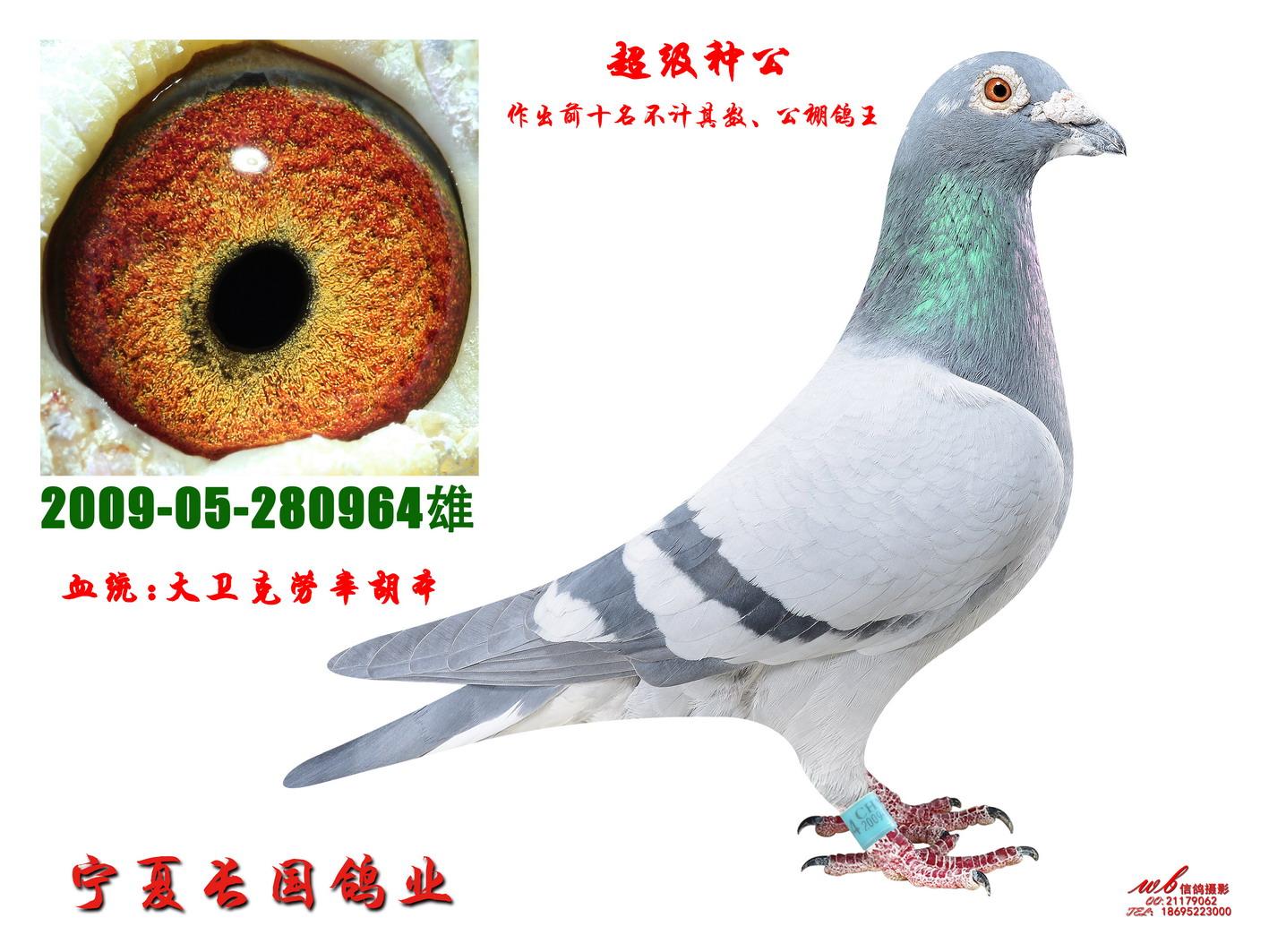 超级种公 宁夏长国鸽业图片
