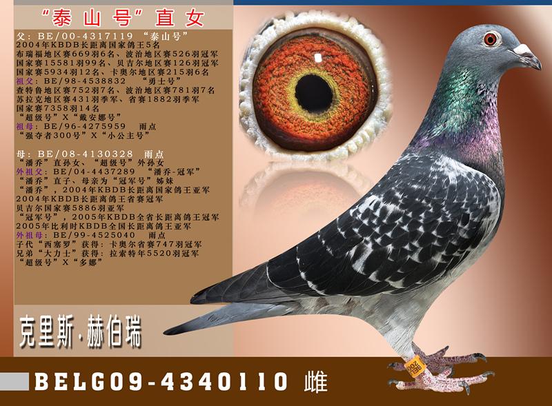 泰山号直女_罗汉说鸽-中信网爱鸽商城