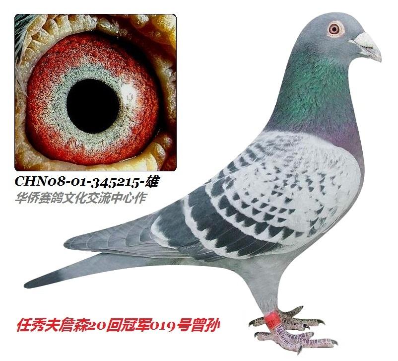 詹森019系多重回血种鸽215号图片