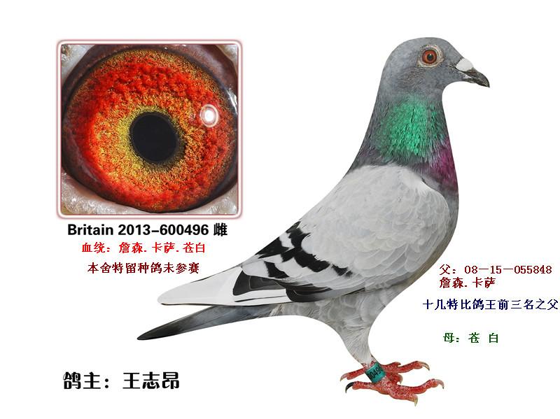 多羽鸽王平辈(已售北京)