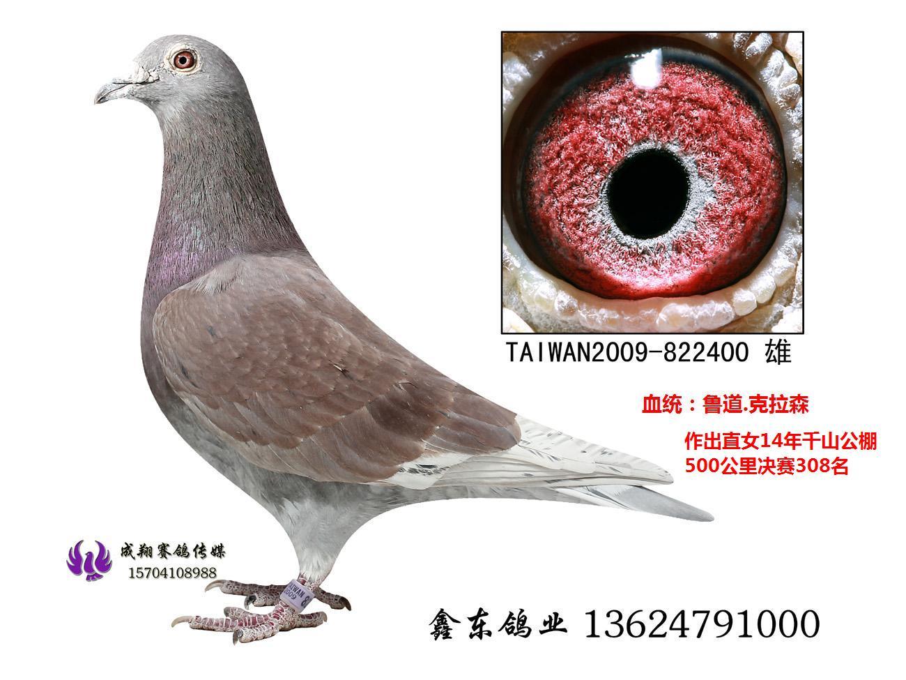 台湾强豪蔡丰吉实战种鸽