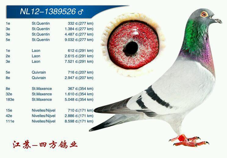 拉昂7948羽季军【已出售】
