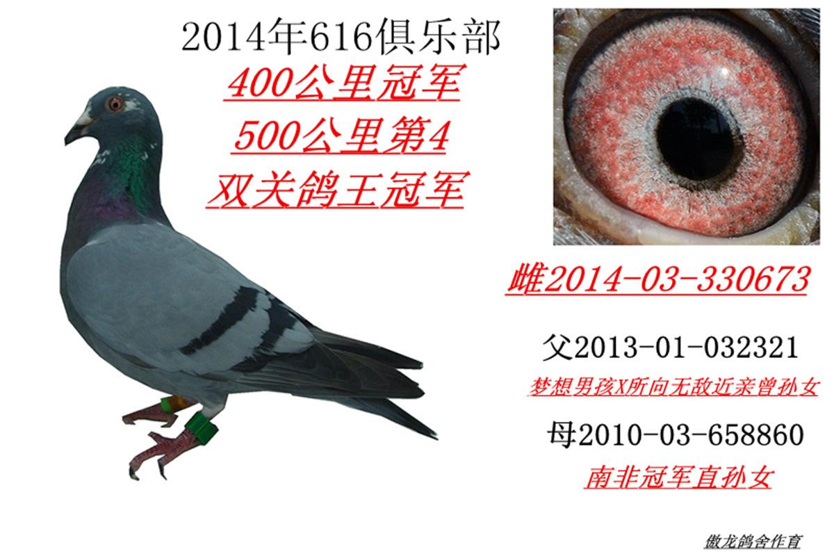 2014年616俱乐部双关鸽王冠军