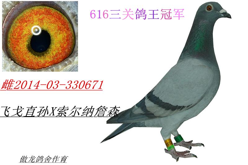 616三关鸽王冠军