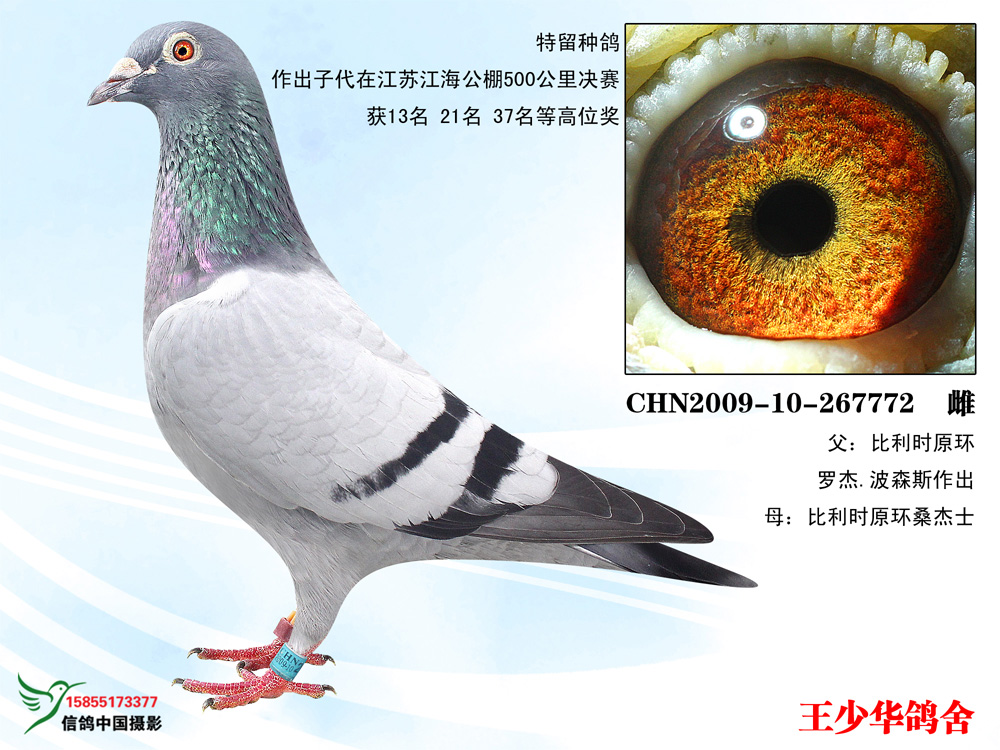 772vvcom_特留种鸽772