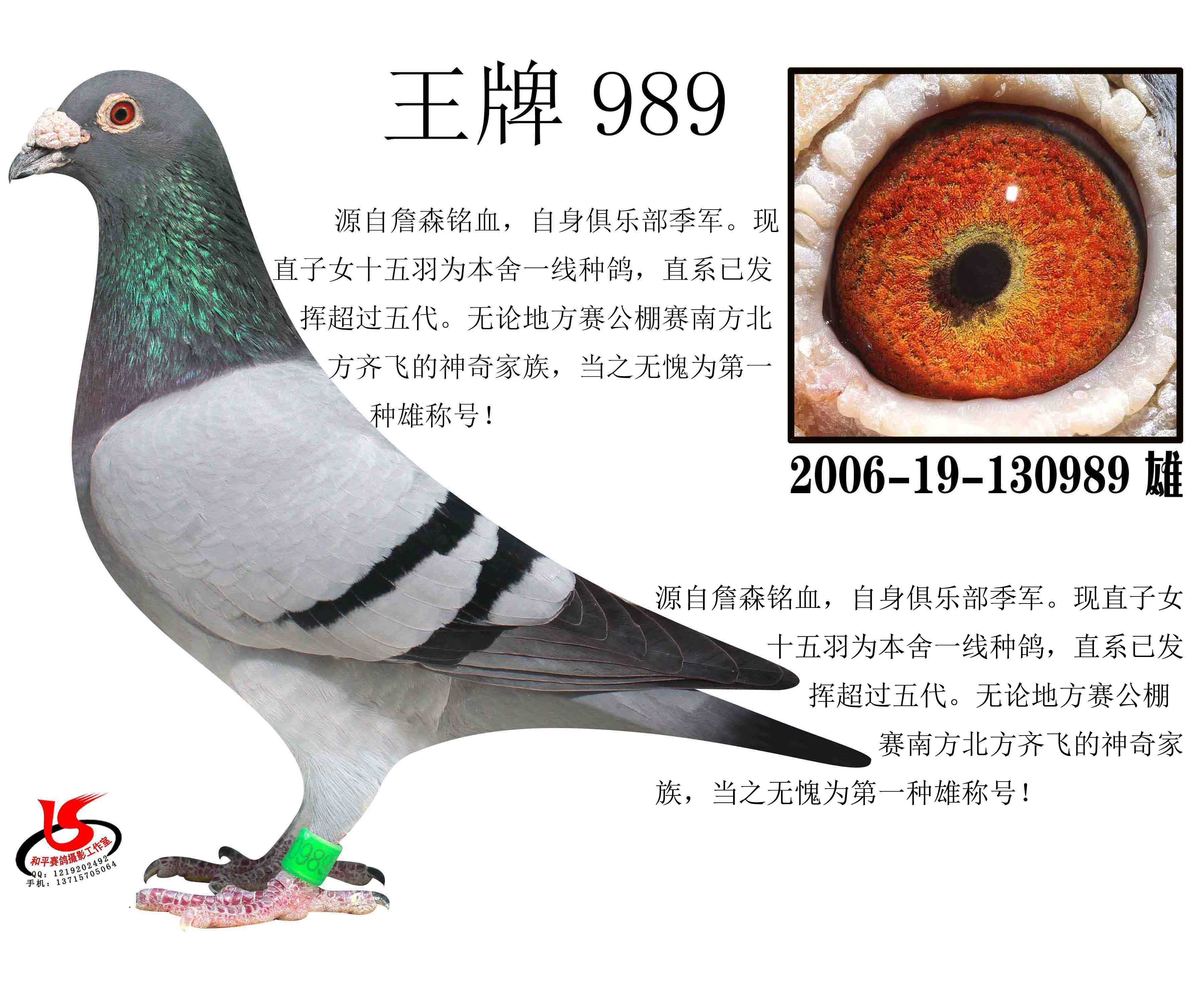 王牌989_深圳郑家军鸽舍_ag188.com爱鸽商城_中国信鸽