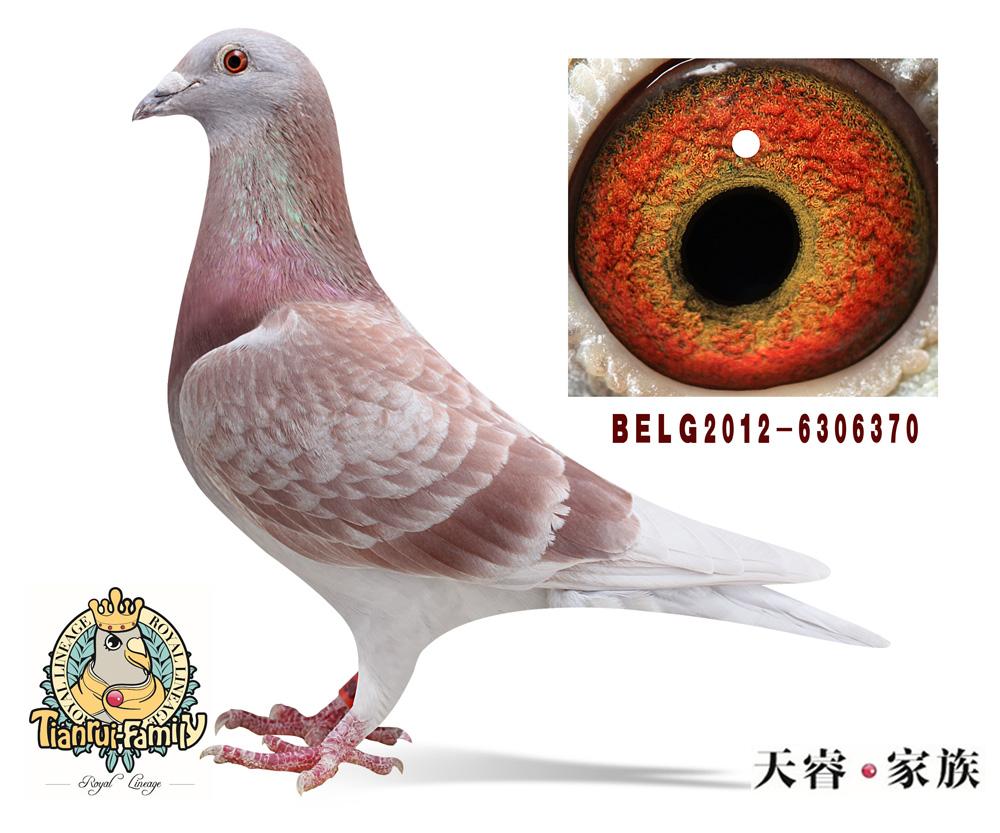 胡本原棚种鸽(雌)
