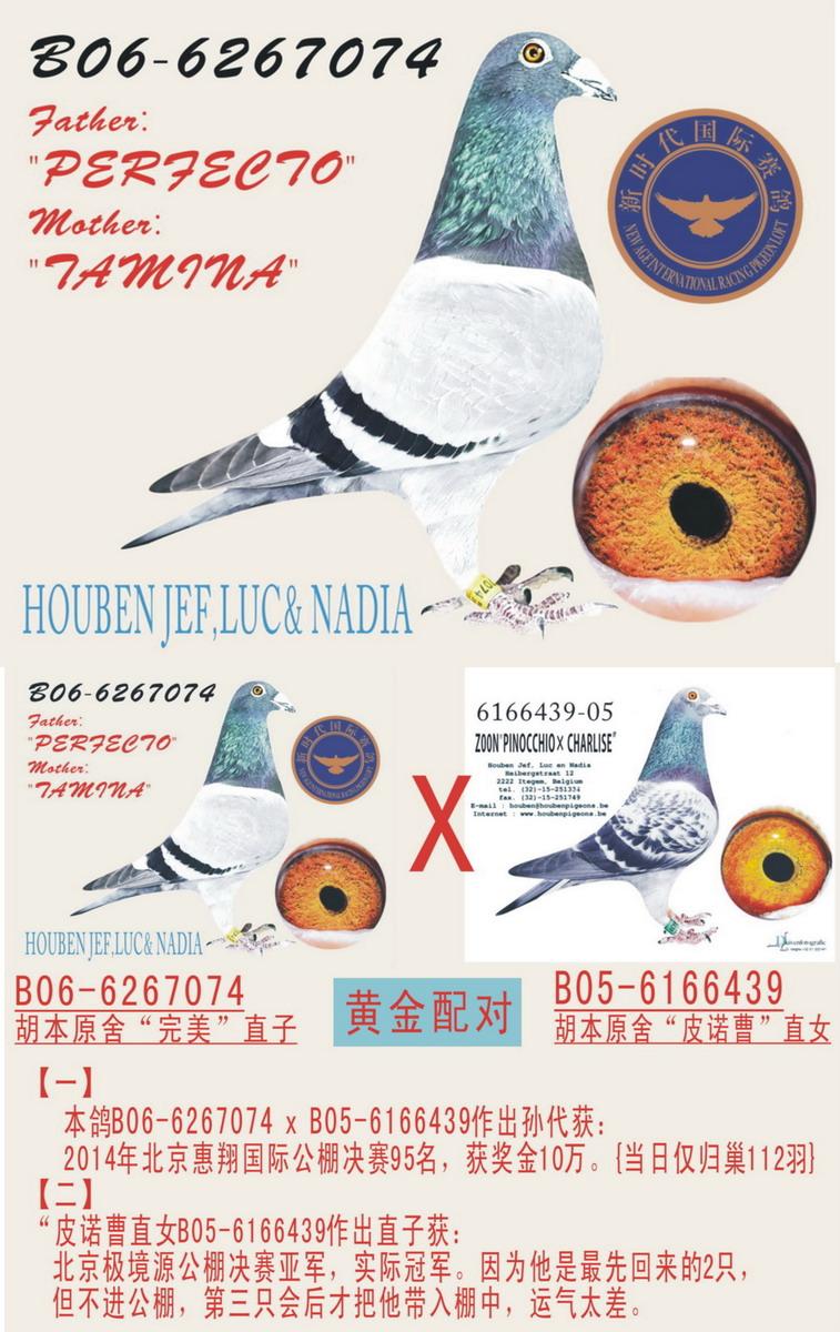 世界名鸽【完美号】直子