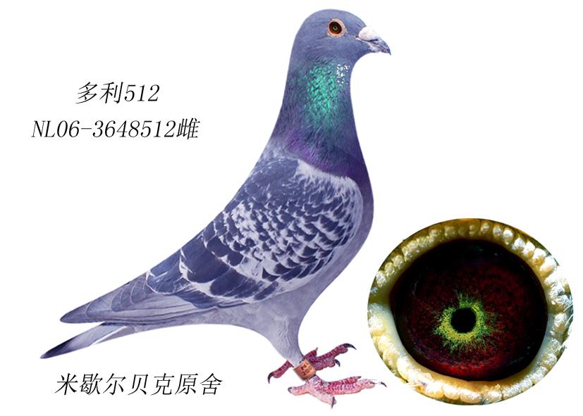 杨阿腾 环羽信鸽
