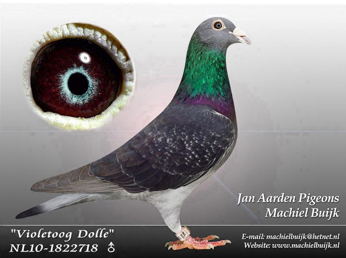 紫罗兰眼多利种雄