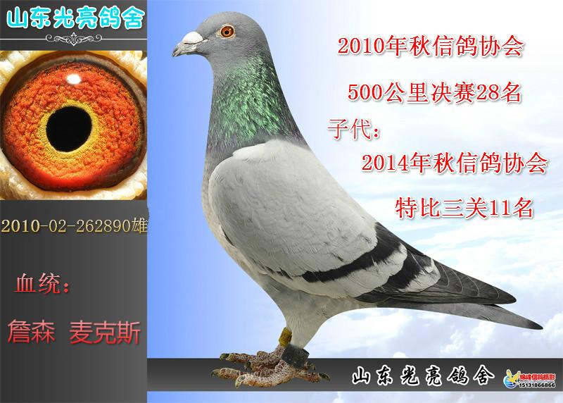 鸽 名: 詹森麦克斯890                羽 色: 灰                眼图片