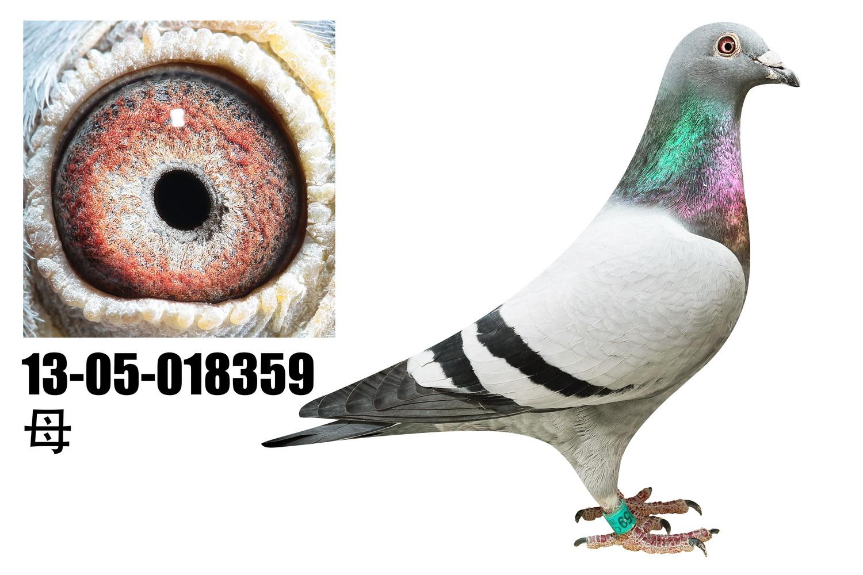 鸽 名: 爱亚卡普詹森                羽 色: 灰                眼图片