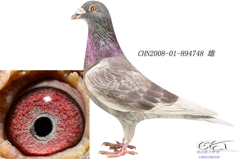 红石板39号_航乾鸽业_ag188.com爱鸽商城